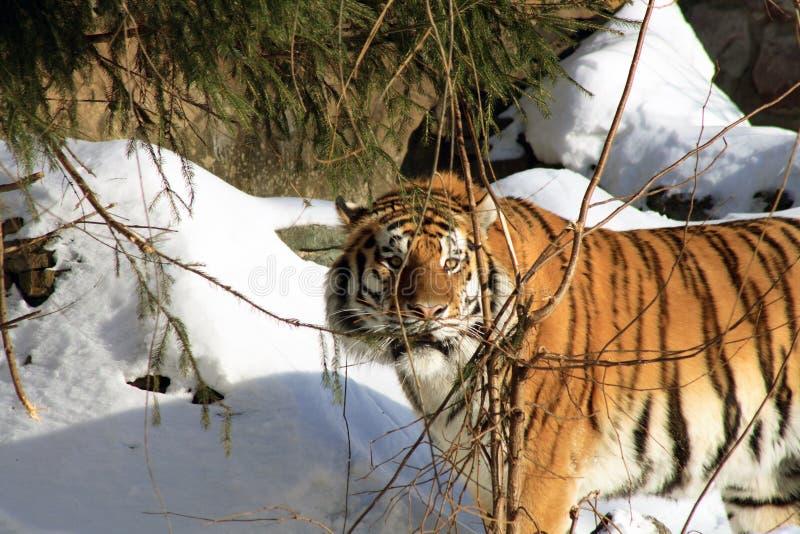 Tigre sibérien en forêt de l'hiver photos libres de droits