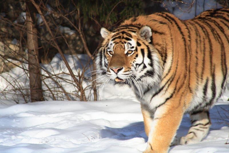 Tigre sibérien en forêt de l'hiver photographie stock