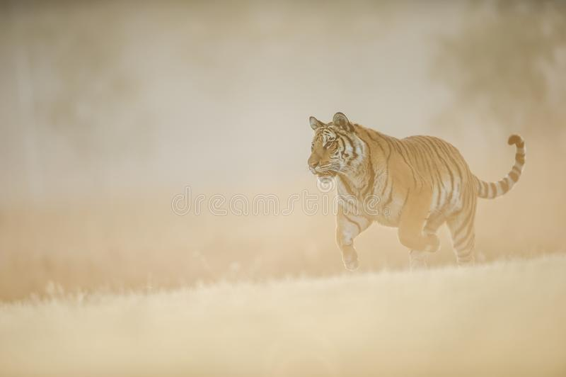 Tigre sib?rien fonctionnant sur la lumi?re cr?meuse du soleil de matin Animal dangereux, tigre sib?rien, altaica du Tigre de Pant image libre de droits