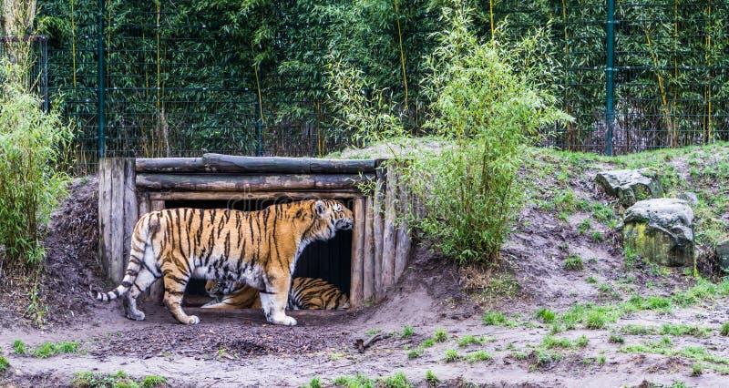 Tigre sibérien frottant son chef contre le bois de sa hutte, animal mis en danger de Russie photos stock