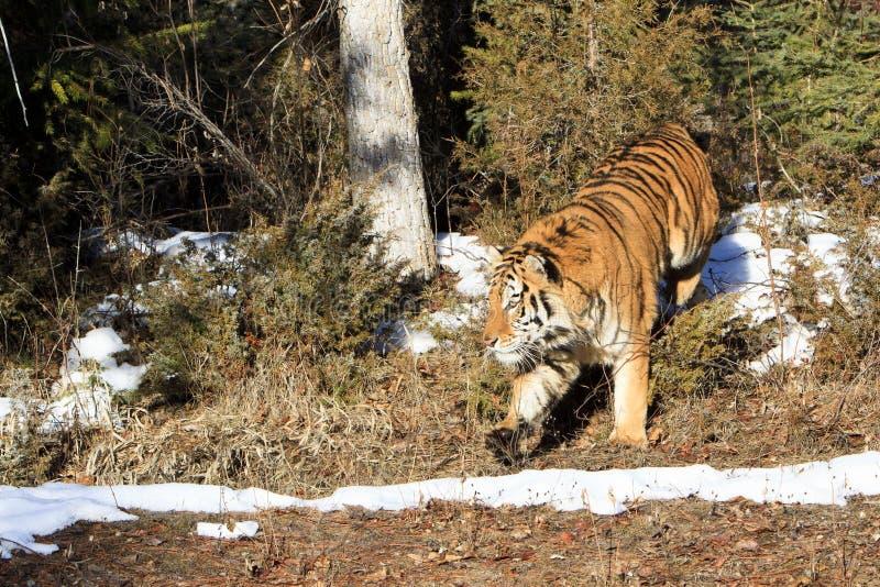 Tigre sibérien marchant hors des arbres forestiers photo stock
