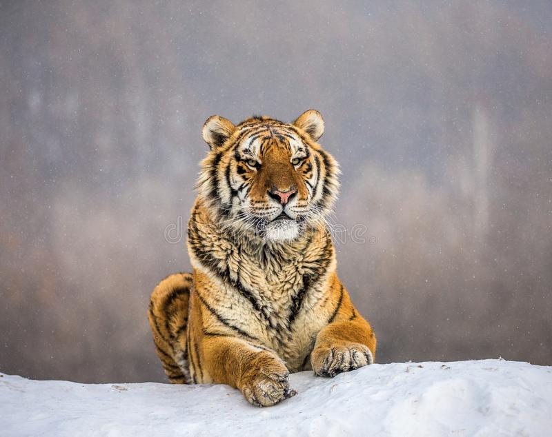 Tigre sibérien se trouvant sur une colline couverte de neige Portrait contre la forêt Chine d'hiver harbin Province de Mudanjiang photographie stock libre de droits