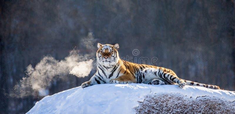 Tigre sibérien se trouvant sur une colline couverte de neige Portrait contre la forêt Chine d'hiver harbin Province de Mudanjiang photo stock