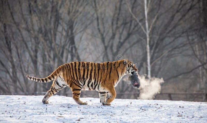 Tigre sibérien sur une clairière neigeuse avec la proie La Chine harbin Rebecca 36 Province de Mudanjiang Parc de Hengdaohezi images libres de droits