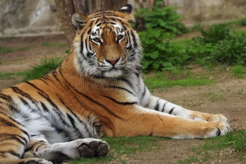 Tigre sibérien, tigre d'Amur image libre de droits