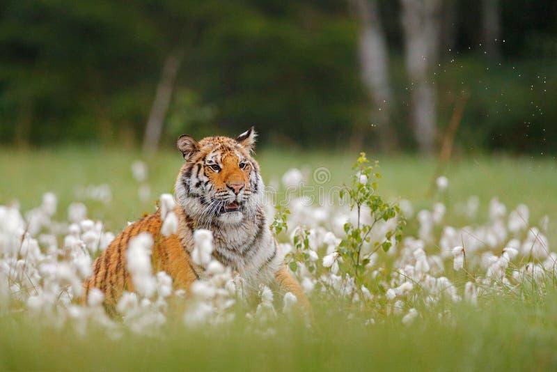 Tigre sib?rien dans l'habitat de for?t de nature, matin brumeux Chasse de tigre d'Amur dans l'herbe de coton blanche verte Animal photo libre de droits