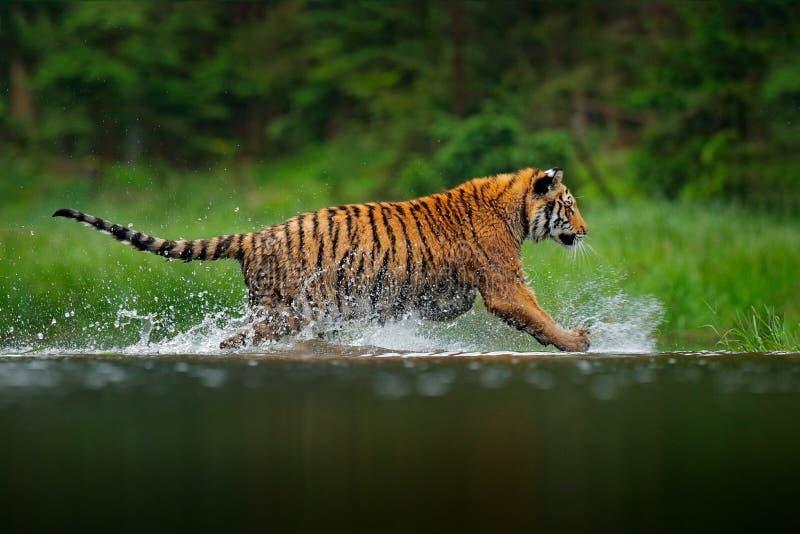 Tigre sib?rien fonctionnant dans l'eau Animal dangereux, taiga en Russie Animal en rivière de forêt Végétation foncée avec le tig image libre de droits