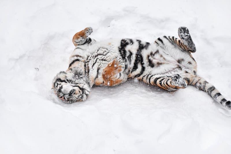 Tigre sib?rien jouant dans la neige blanche d'hiver photos stock