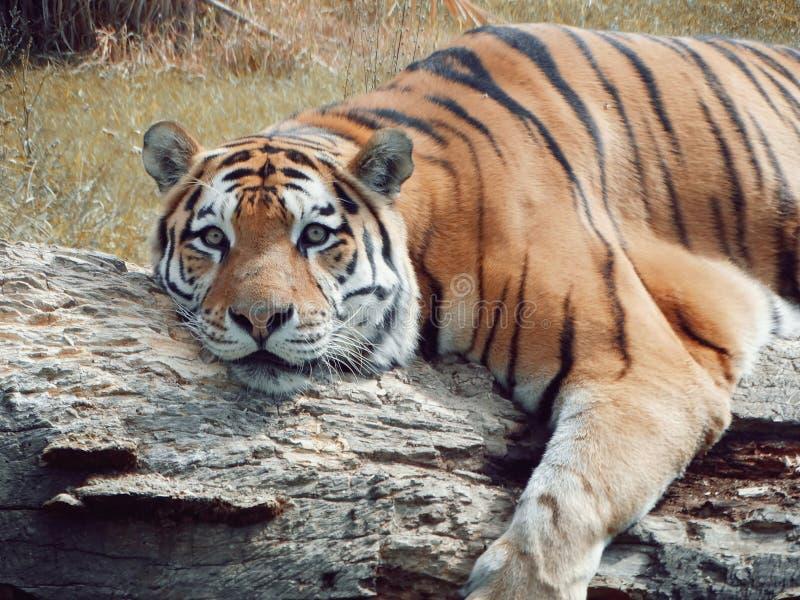 Tigre sib?rien se trouvant sur le joncteur r?seau d'arbre photographie stock