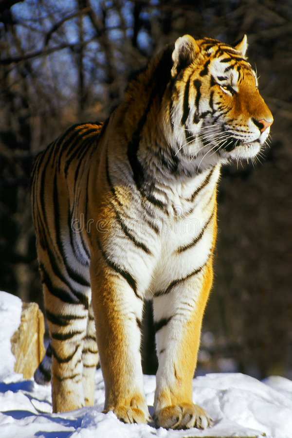 Tigre Siberian 2 fotos de stock