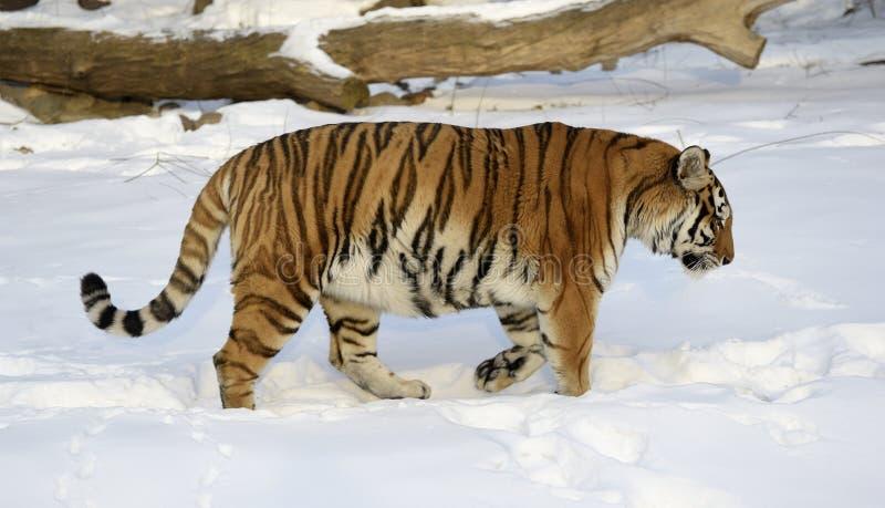 Tigre Siberian imagens de stock