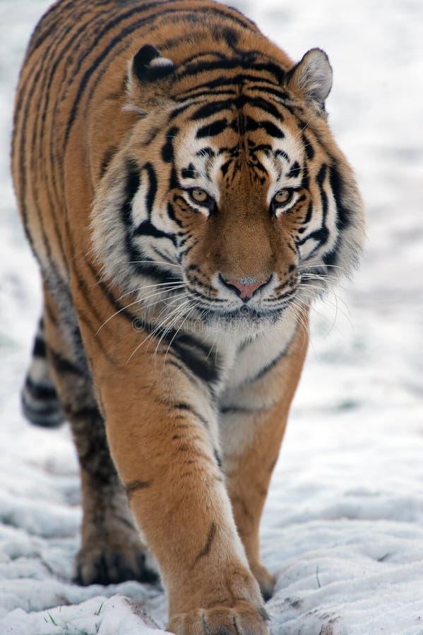 Tigre Siberian (altaica de tigris do Panthera) fotos de stock
