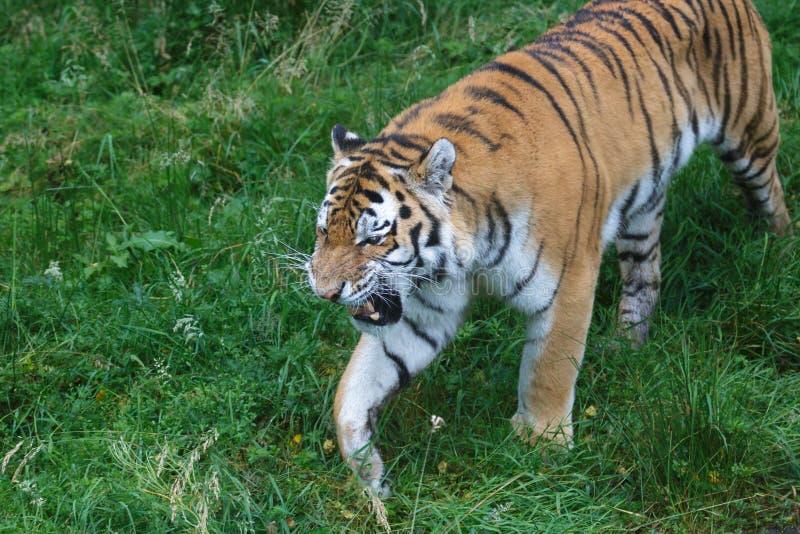 Tigre Siberian (altaica de tigris do Panthera) ou tigre de Amur foto de stock