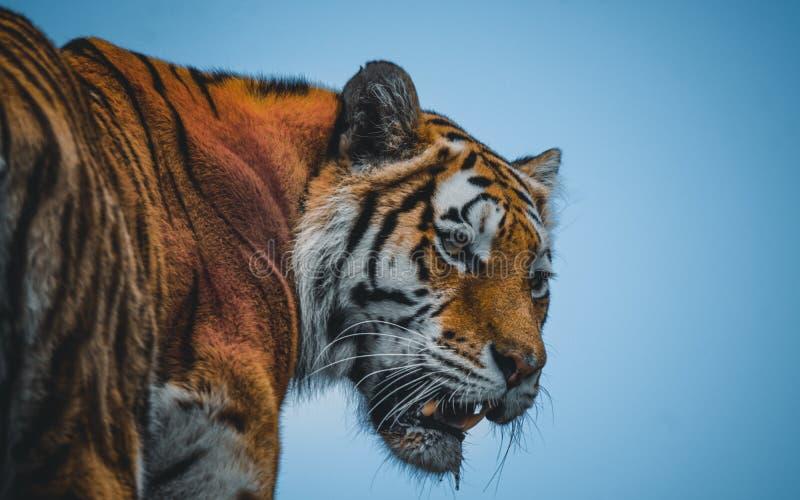 Tigre Siberian de Amur foto de stock royalty free
