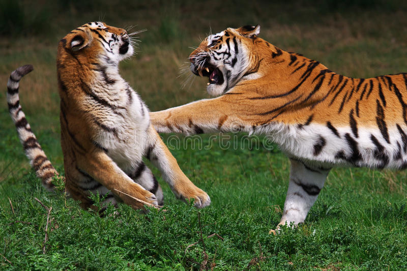 Tigre Siberian de encaixotamento foto de stock
