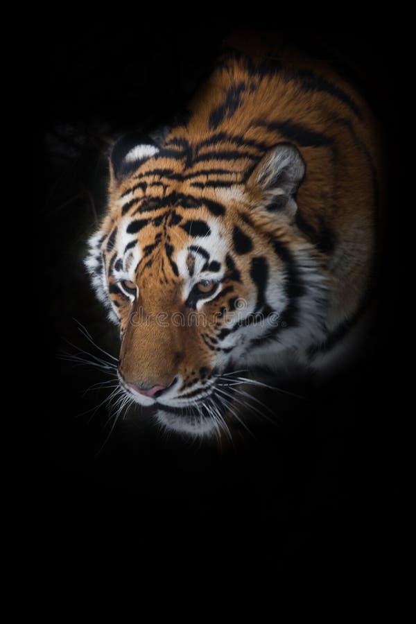 Tigre Siberian do tigre de Amur entre os abeto no close-up do inverno, cara poderosa de um predatório bonito grande fotografia de stock