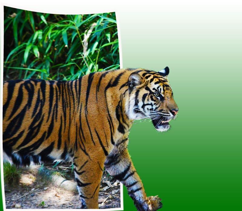 Tigre Siberian emergente fotos de stock