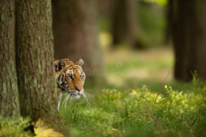 Tigre Siberian escondido atrás da árvore Cabeça do close up do olhar tomado animal perigoso de lado fotografia de stock royalty free