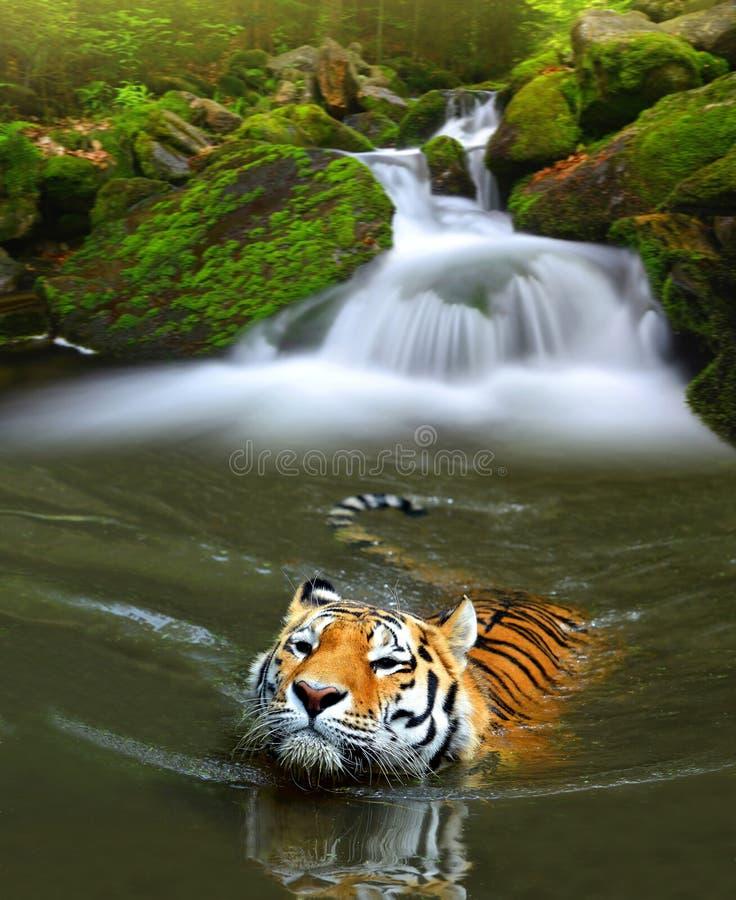 Tigre Siberian na água fotografia de stock