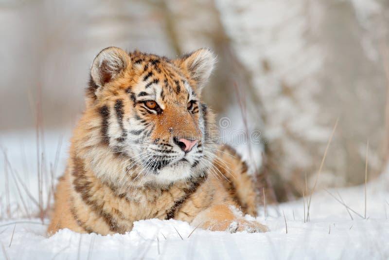 Tigre Siberian na queda da neve, árvore de vidoeiro Tigre de Amur que senta-se na neve Tigre na natureza selvagem do inverno Cena fotos de stock royalty free