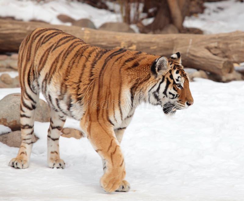 Tigre Siberian no jardim zoológico de Moscovo imagem de stock