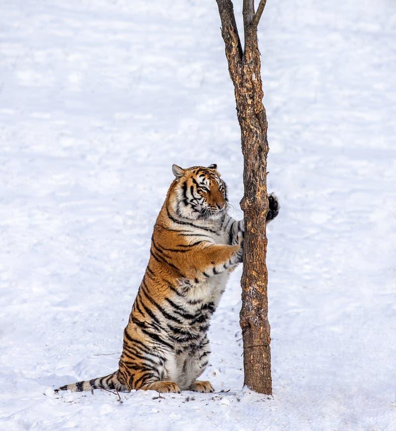 Tigre Siberian que risca a árvore em uma clareira nevado China harbin Província de Mudanjiang Parque de Hengdaohezi Siberian Tige imagens de stock