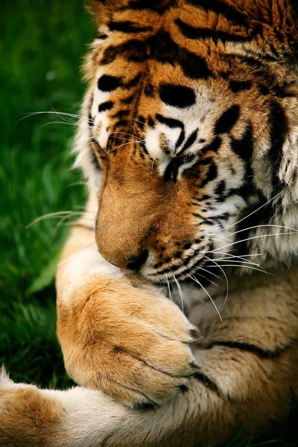 Tigre Siberian Snarling fotografia de stock royalty free