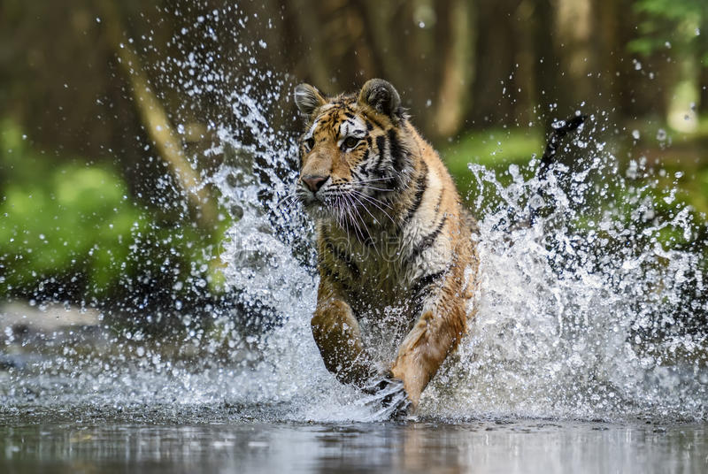 Tigre siberiana immagine stock