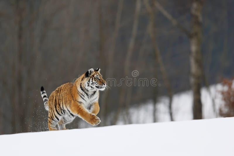 Tigre siberiana in ambiente naturale Tipico inverno a taiga, Russia Panthera tigris altaica immagine stock libera da diritti