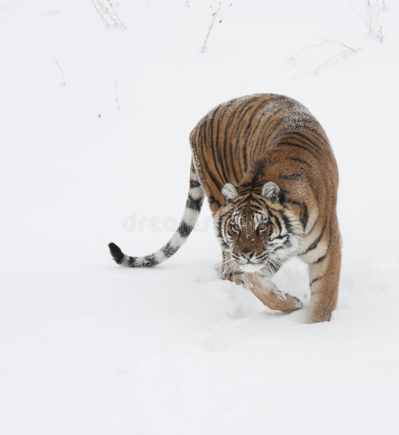 Tigre siberiana del Amur fotografia stock