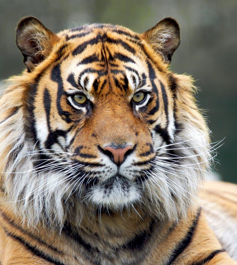 Tigre siberiana di ringhio fotografie stock