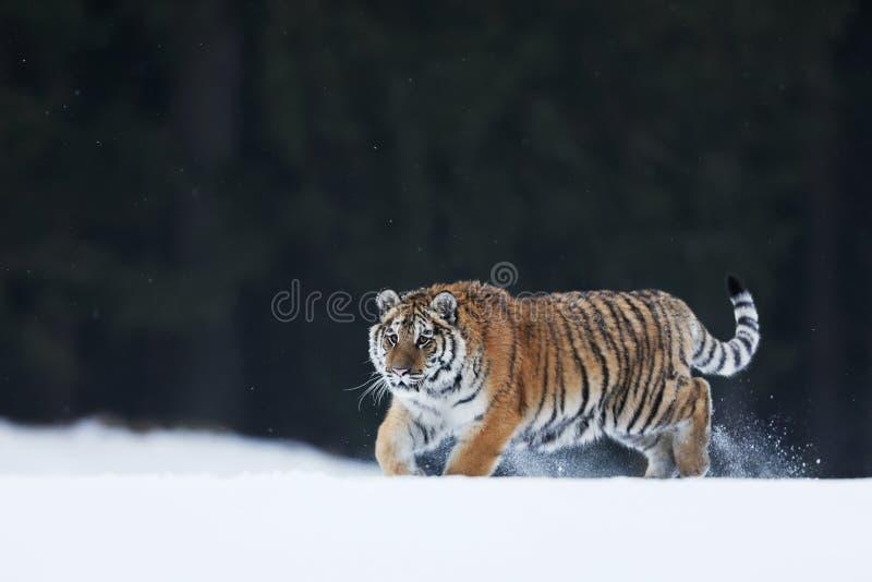 Tigre siberiana in natura invernale selvatica Scene di animazione Freddo inverno a taiga, Russia Panthera tigris altaica fotografia stock