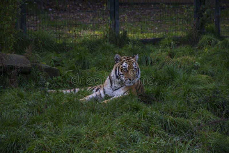Tigre siberiana o altaica del Tigri della panthera della tigre dell'Amur fotografia stock