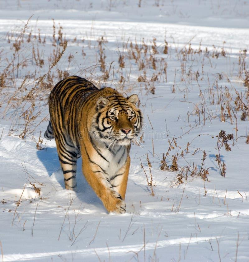 Tigre siberiana Prowling immagini stock