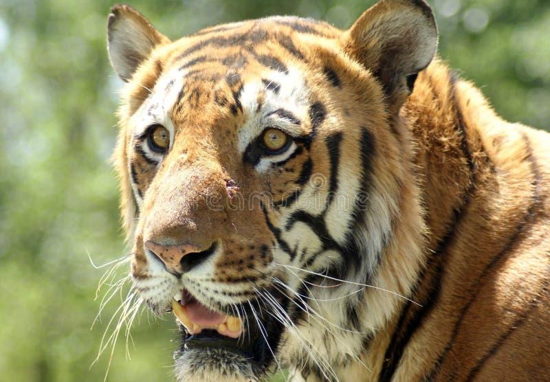 Tigre siberiano imagen de archivo