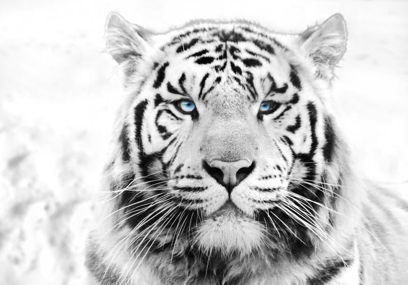 Tigre siberiano imagenes de archivo