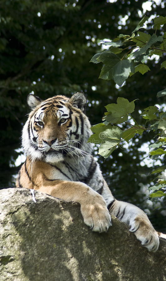 Tigre siberiano foto de archivo