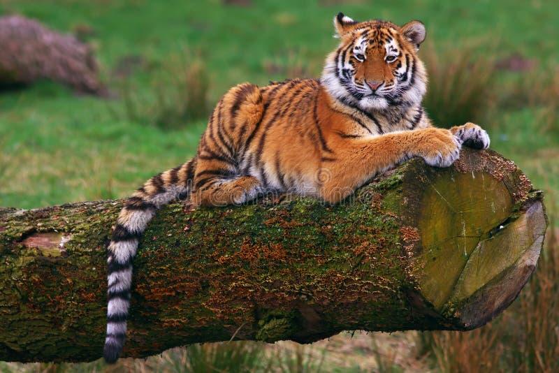 Tigre siberiano fotos de archivo