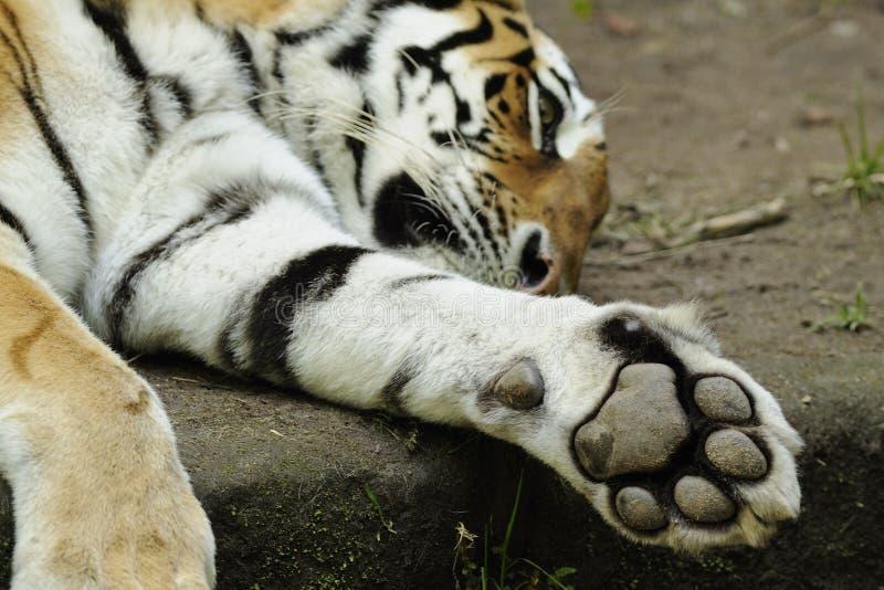 Tigre Siberiano (altaica De Tigris Del Panthera) Fotografía de archivo