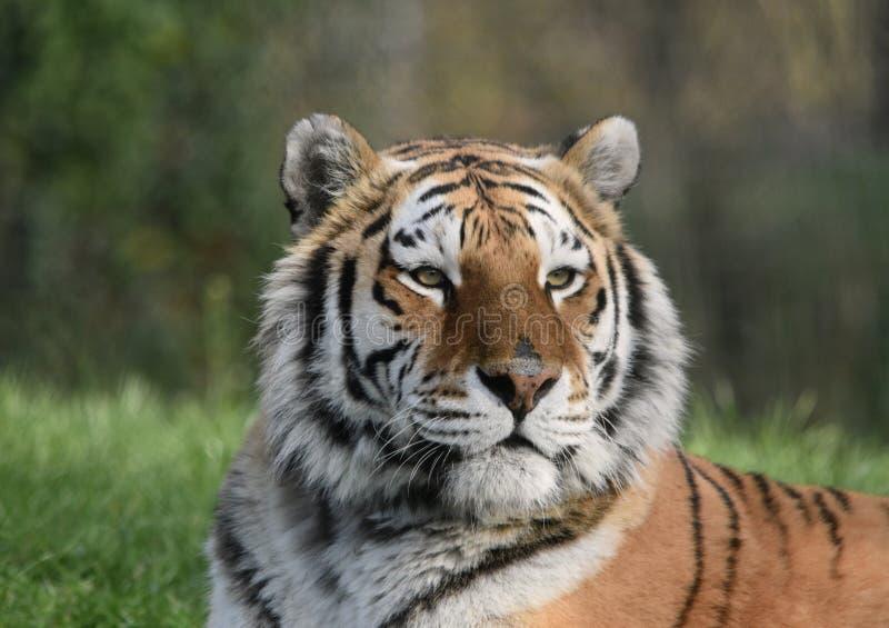 Tigre - siberiano /Amur fotos de archivo