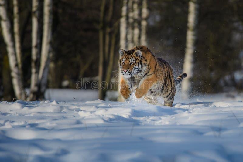 Tigre siberiano corriendo Hermosa, dinámica y poderosa foto de este majestuoso animal Conjunto típico de este increíble entorno fotos de archivo