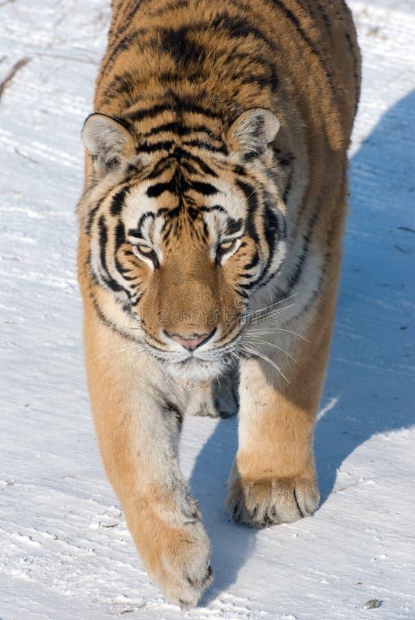 Tigre siberiano de acecho fotos de archivo