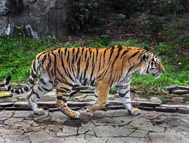 Tigre siberiano macho 2 fotografía de archivo
