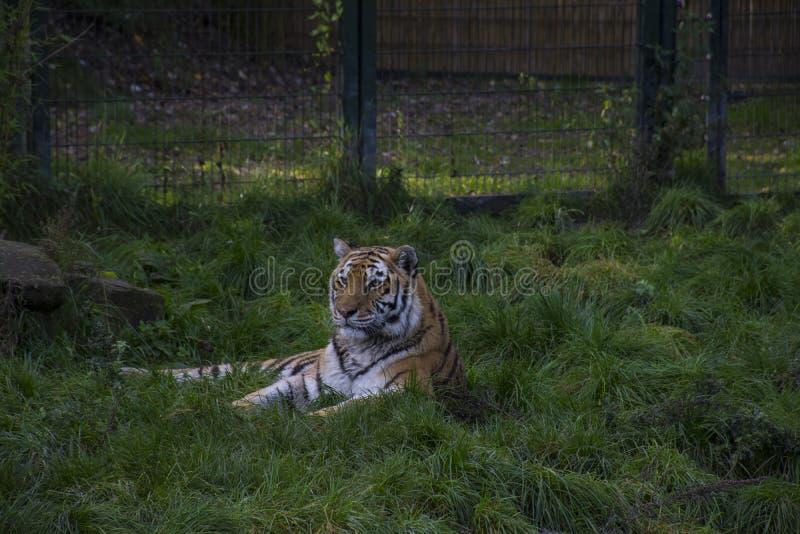 Tigre siberiano o altaica del Tigris del Panthera del tigre de Amur que asiste imagen de archivo