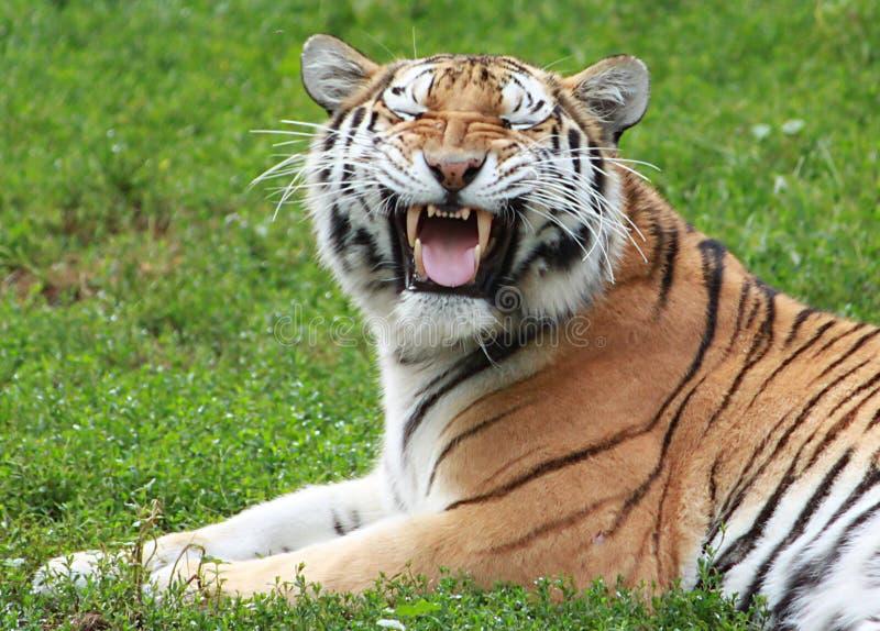 Tigre siberiano que hace la cara divertida fotografía de archivo
