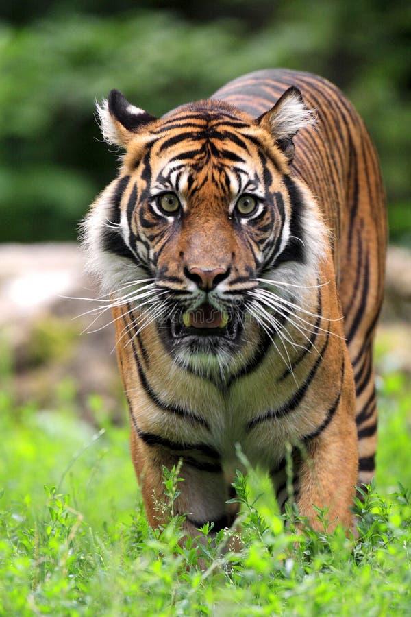 Tigre simple de Sumatran dans le jardin zoologique photos libres de droits