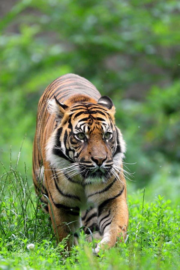 Tigre simple de Sumatran dans le jardin zoologique photographie stock