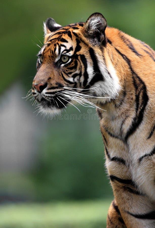 Tigre simple de Sumatran dans le jardin zoologique photo libre de droits