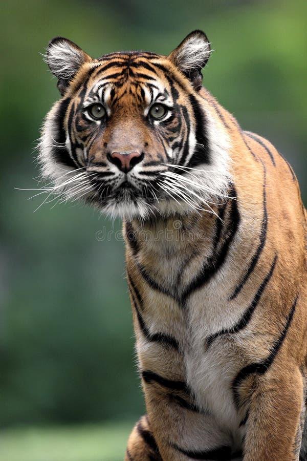 Tigre simple de Sumatran dans le jardin zoologique image stock