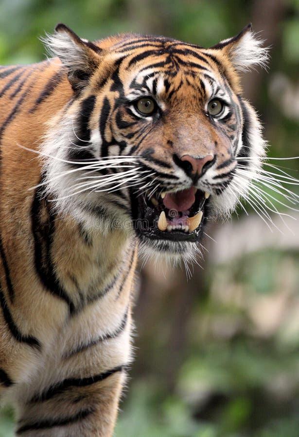 Tigre simple de Sumatran dans le jardin zoologique images stock